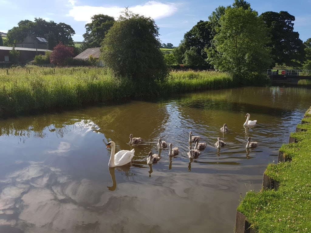 Swans and cygnets in Skipton