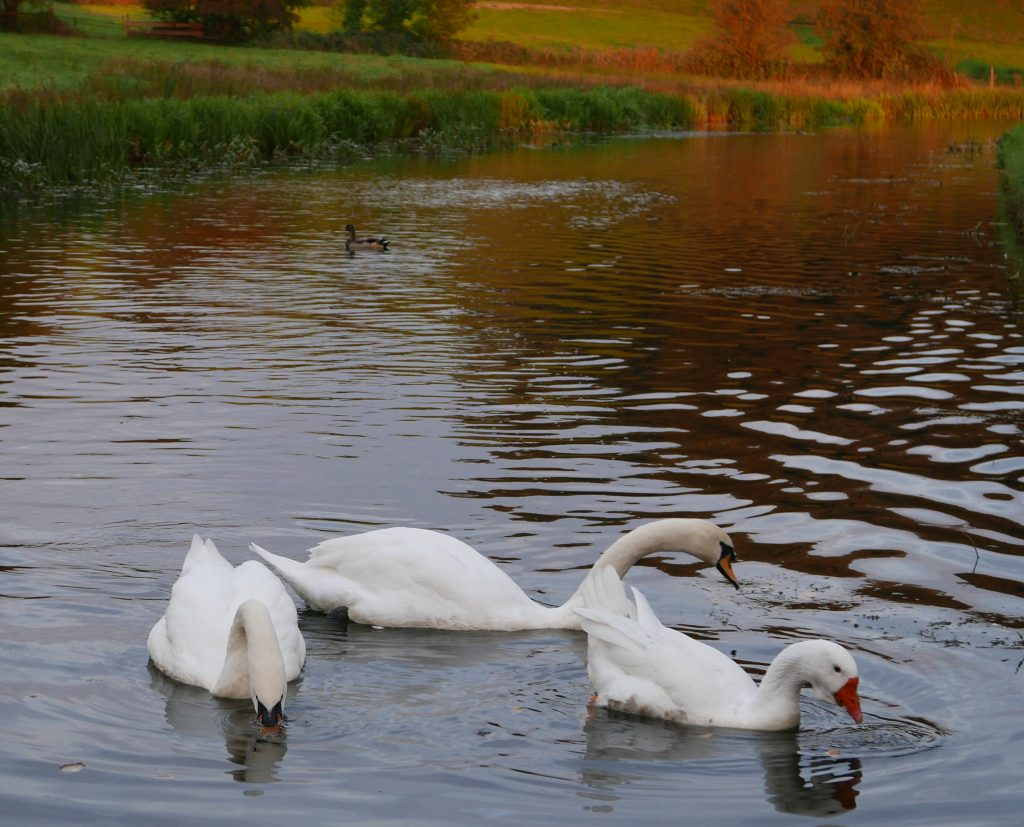 Goose and Swans on Leeds Liverpool