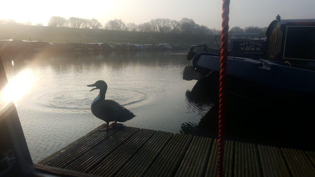 Duck at reedley marina