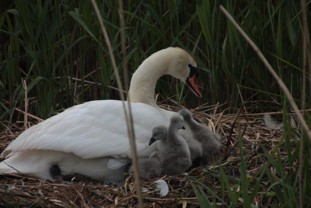 Cygnets just hatched , Rufford Branch