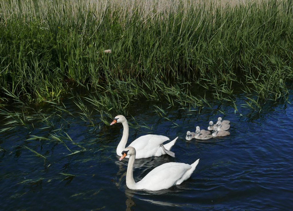 Proud Mum and Dad with cygnets on the Rufford Branch