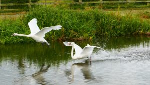 Lady Teal watches two swans land