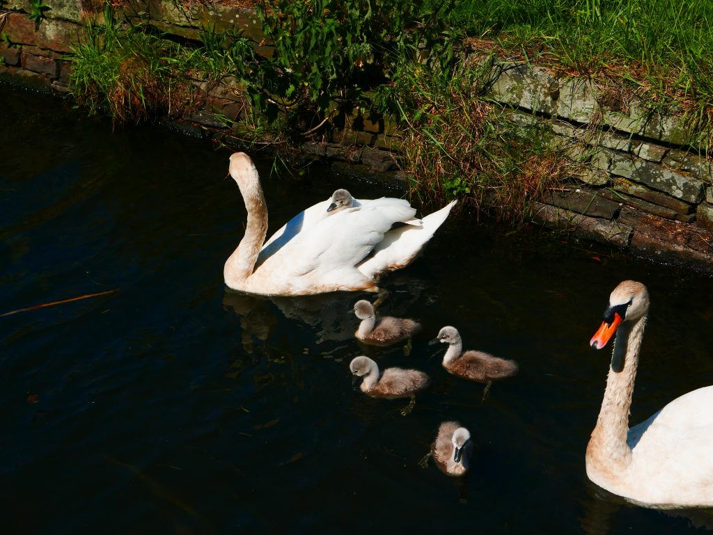 Cygnet riding on Swans back